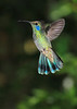 Green_Violetear_Hummingbird_Los_Quetzales0001