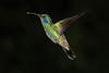 Green_Violetear_Hummingbird_Los_Quetzales0002