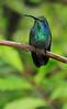 Green_Violetear_Hummingbird_Los_Quetzales0003