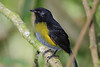 Black-and-Yellow_Silky_flytcather_Los_Quetzales0022