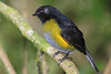 Black-and-Yellow_Silky_flytcather_Los_Quetzales0023