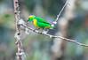 Golden-browed_Chlorophonia_Los_Quetzales0030