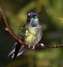 MagnificentHummingbird9