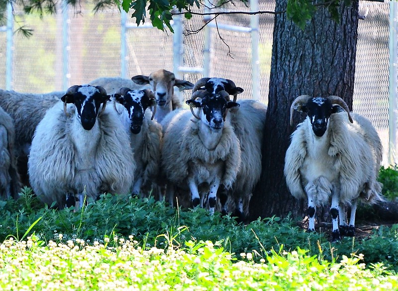 Sheep at the former Leominster Landfill watch the Drone search from the shade.<br /> Sentinel & Enterprise / Jim Fay