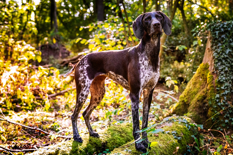 German Shorthaired Pointer standing on a log in the forest