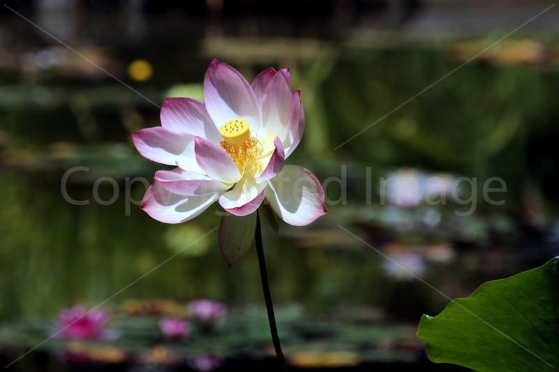 Lotus Impressions