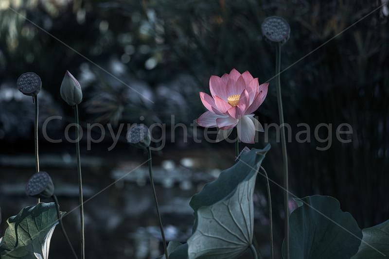 Lotus Grace