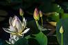 Lotus Flowers  7/8/2009