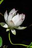 Lotus Series #1 7/24/2015