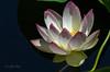 Lotus Series #2 7/22/2015
