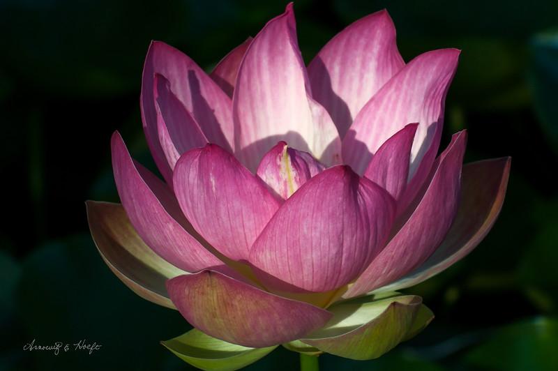 Lotus 9/4/2014