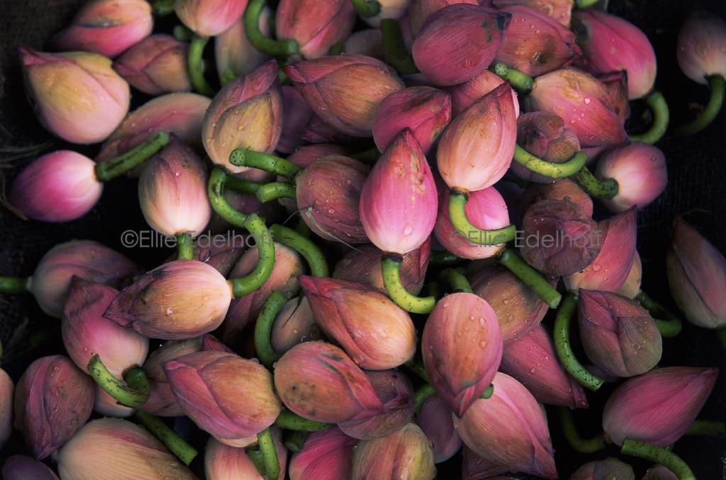 Lotus Buds – Thailand