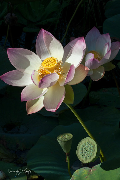 Lotus Flower and Pods