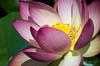 Lotus 8/27/15