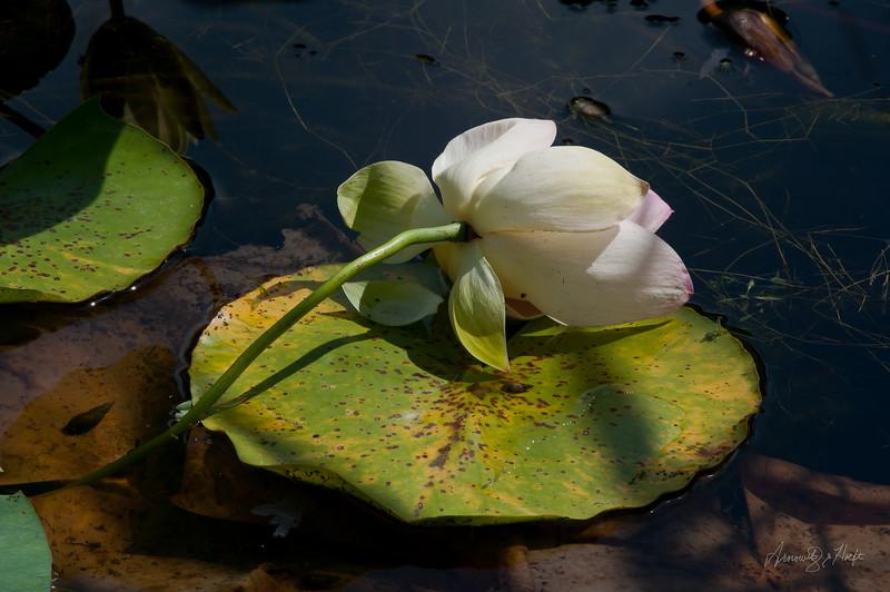 Lotus  7/8/2012