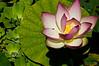 Lotus  9/13/2012