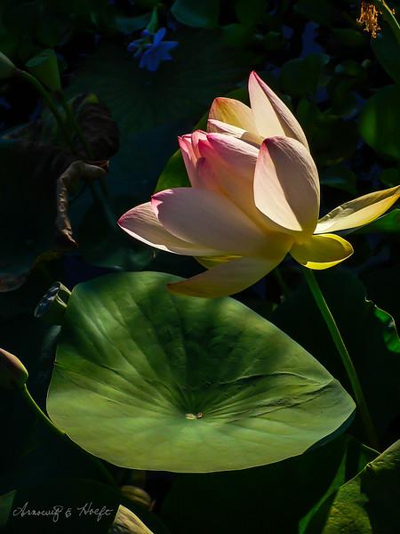 Morning Lotus  8/11/2006