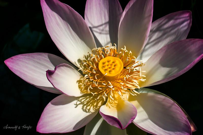 Lotus 7/26/20014
