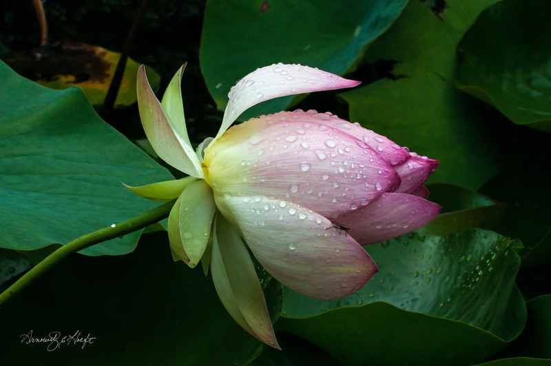 Lotus After the Rain