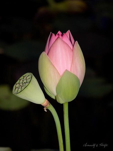 Lotus and Seed Pod  7/12/2007