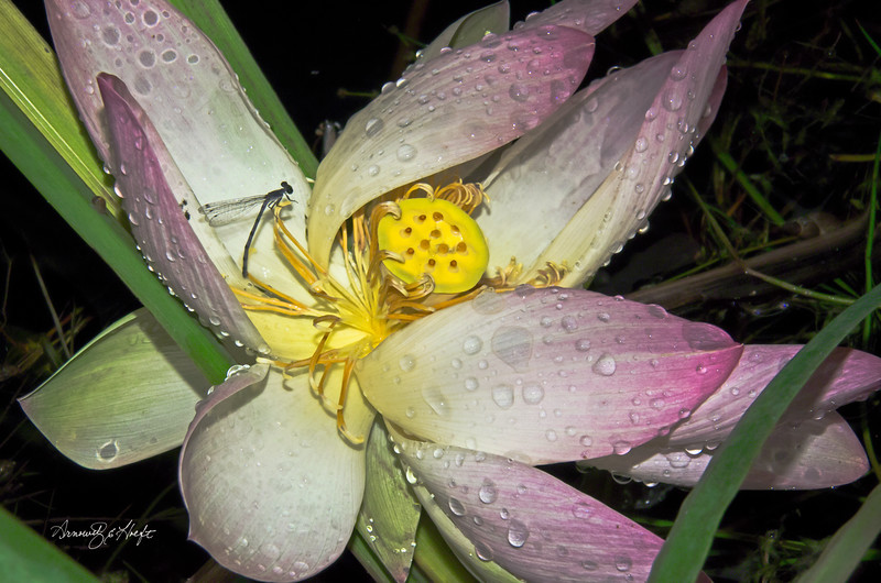Damsel Fly on Lotus