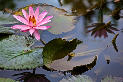 Lotus  & Lillies