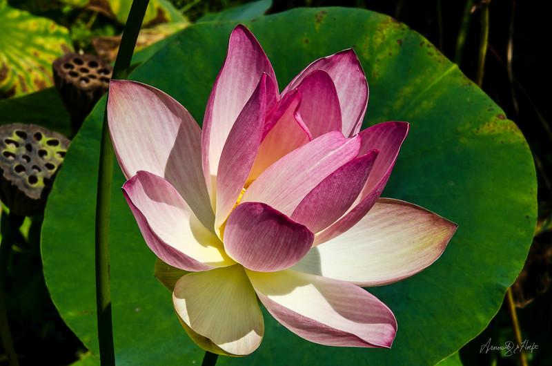 Lotus 8/30/2012