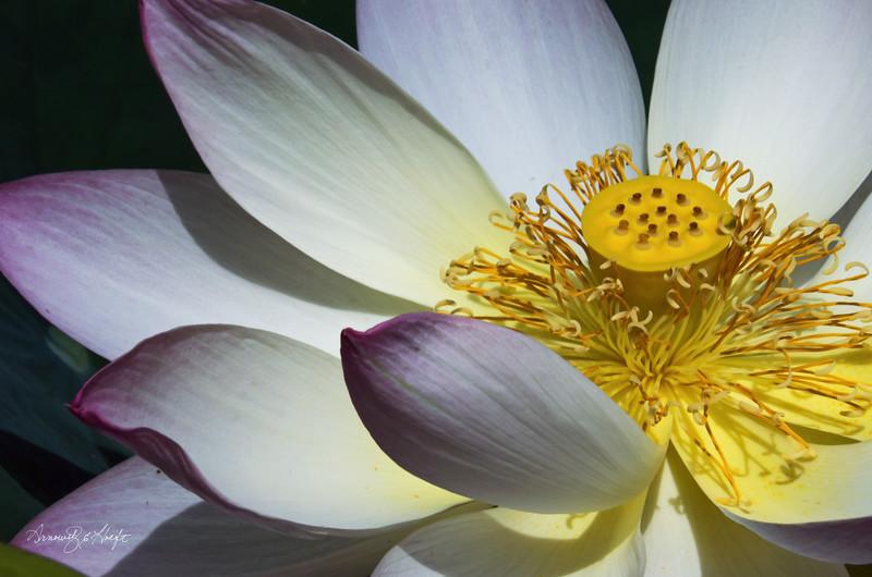 Lotus 8/6/16