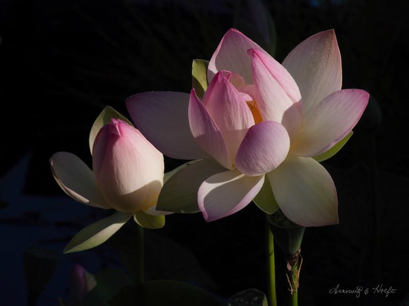 Lotus 7/10/2008
