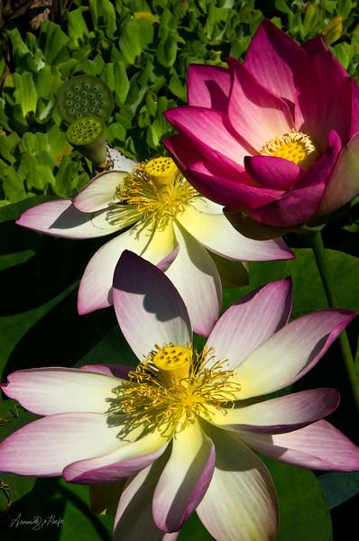 Three Lotus Flowers  8/30/2012