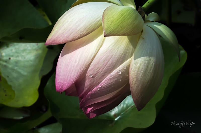 Resting Lotus