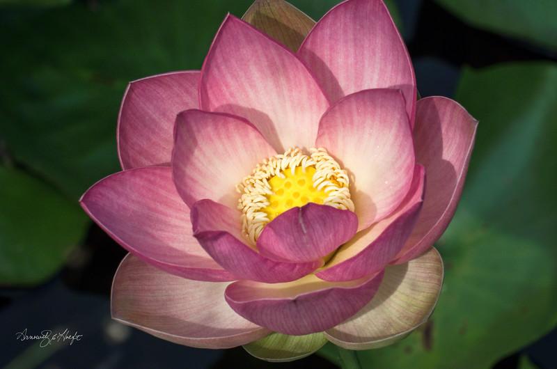 Lotus 9/7/15