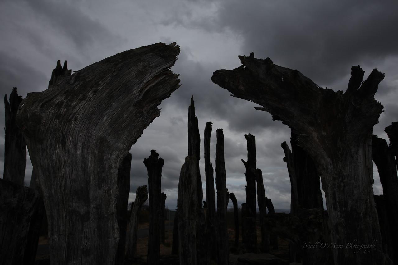 'Black Forest' resurrected Oak trees, Lough Boora