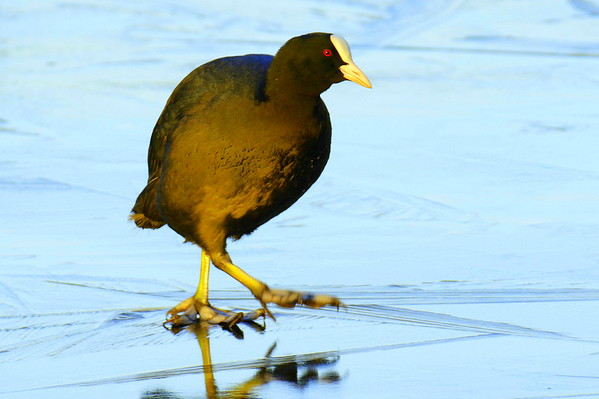 Coot on Ice!