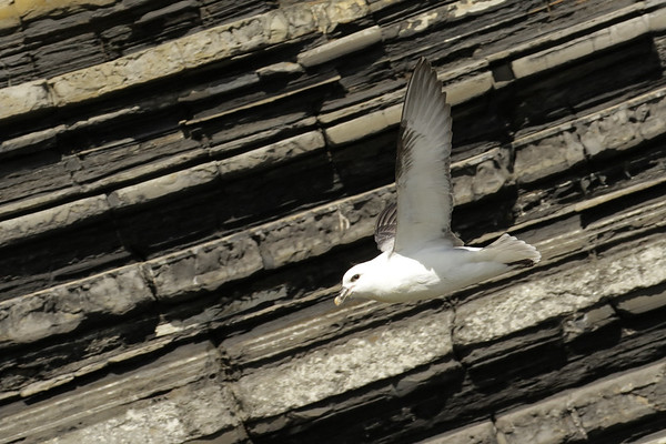 Fulmar flying with the contours!