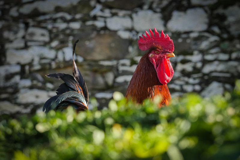 Coq  /  Rooster   P1140686