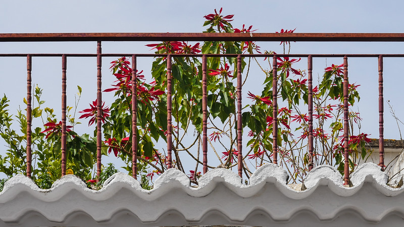 Poinsettias sur le toit / Poinsettias on the Roof P1170378