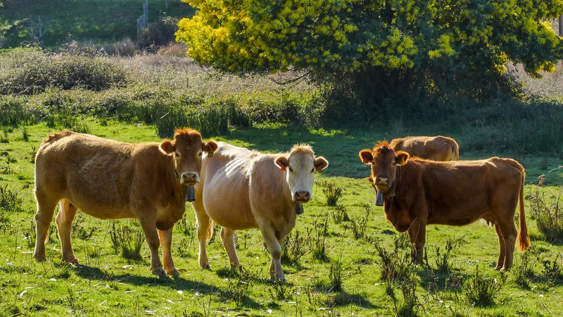 Les belles curieuses / Beautiful Curious Cows    IMG_0905