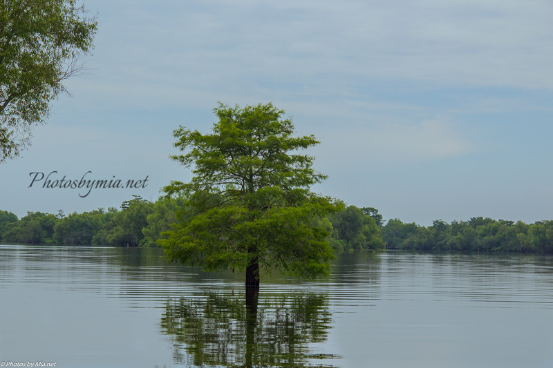 swamp tree final