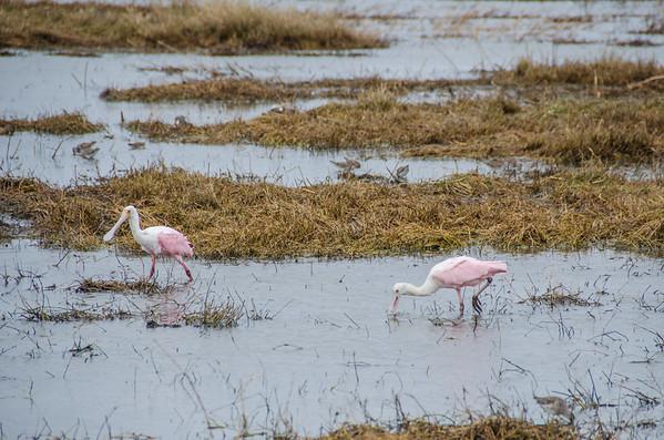 Roseate spoonbills: Southern Louisiana birds, Cameron Prairie National Wildlife Refuge
