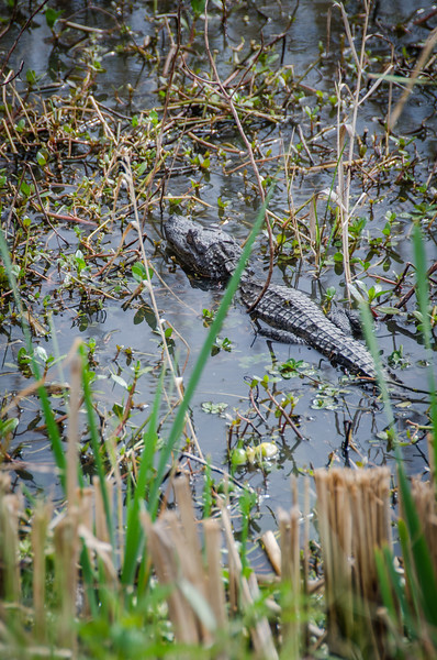 Alligator Spotting: Southern Louisiana Wildlife, Cameron Prairie National Wildlife Refuge