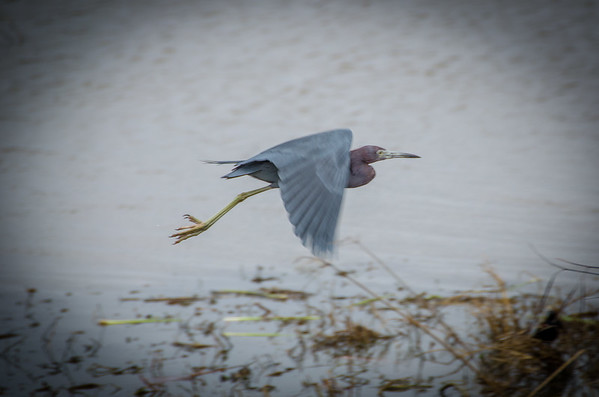 A heron in flight: Birdwatching in Louisiana, Pintail Wildlife Drive