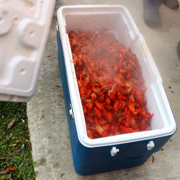 Store cooked crawfish boil in a cooler to keep them warm | A Southern Louisiana crawfish boil recipe