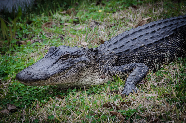 Alligator | Cajun dishes to try in Louisiana