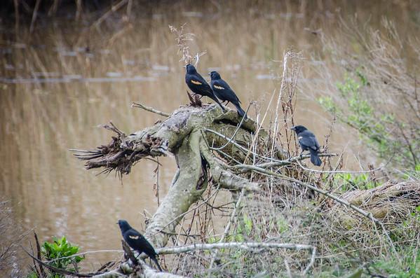 Redwing blackbirds, birdwatching in Louisiana