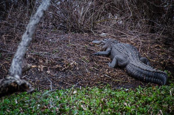 Big alligator in the Atchafalaya Basin swamp