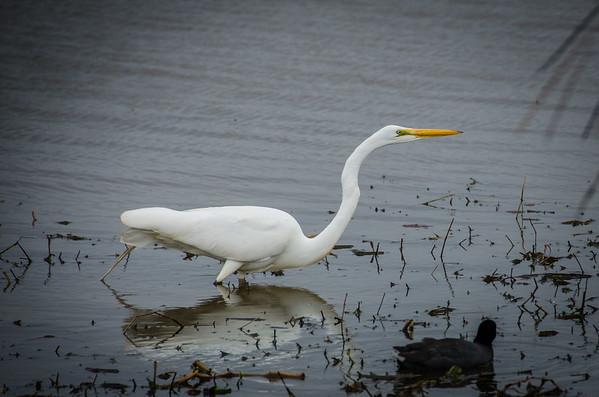 Egret: Louisiana birdwatching, Pintail Wildlife Drive