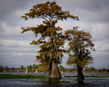 November 2011 Atchafalaya Basin........ Ancient Cypress forest.