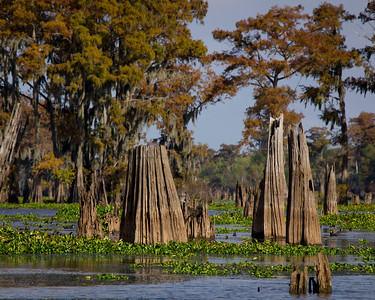 November 2011 Louisiana's Atchafalaya Basin........ Ancient Cypress forest.