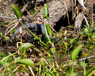 November 2011 Atchafalaya Basin........ Last Year's hatchling.....